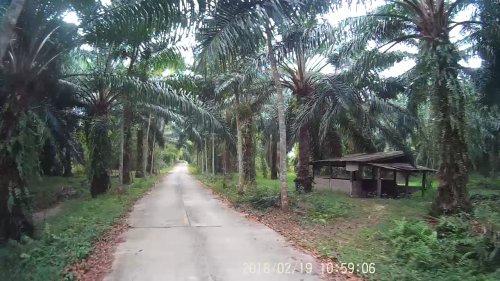 Road through a forest of palm trees